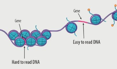 Coiling of DNA and gene expression. (Courtesy: National Institutes of Health)