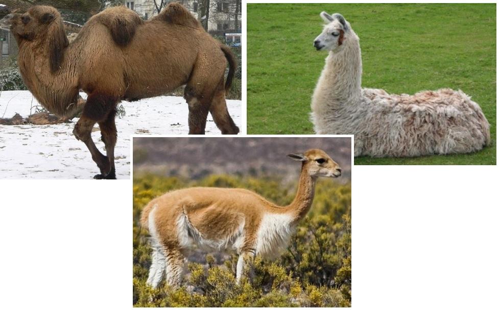Camelids: Bactrian Camel, Llama, and Vicuana